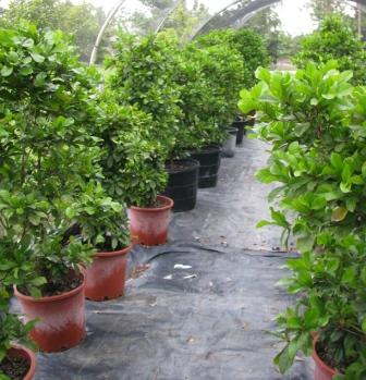 Row of miracle fruit plants.