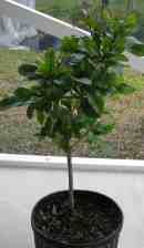 Miracle fruit seedling.
